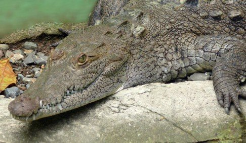 krokodil progutao mobilni
